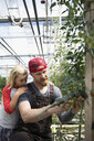 Father and daughter gardening, checking tomato plant vines growing in greenhouse - HEROF20680
