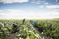 Farmers harvesting corn in crop on sunny farm - HEROF20707