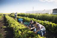 Farmers working in lettuce vegetable crop on sunny farm - HEROF20716