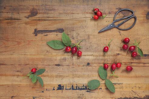 rosehips garden harvest with secateurs on vintage wooden background - GWF05866