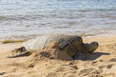 USA, Hawaii, Laniakea Beach, Green Sea Turtle, Chelonia mydas - FOF10349