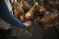 Female farmer feeding chickens from hand in chicken coop - HEROF20904