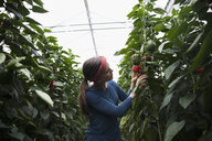 Female farmer harvesting bell peppers among plants in greenhouse - HEROF20913
