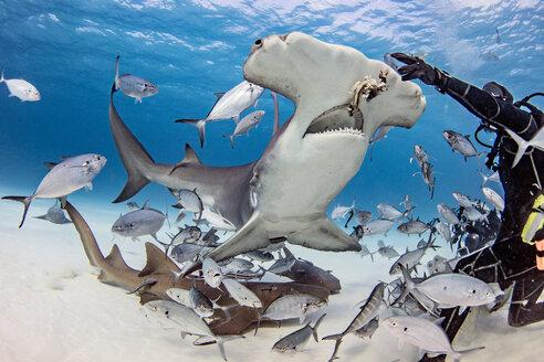 Diver feeding great hammerhead shark and fishes underwater, Alice Town, Bimini, Bahamas - ISF20794
