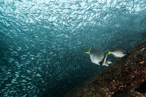 Shoals of sardine being hunted by red snappers - ISF20827