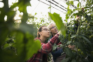 Mother and daughter harvesting tomatoes growing on tomato plant in greenhouse - HEROF21277