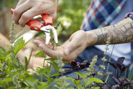 Close up tattooed man pruning plants with pruning shears in garden - HEROF21981