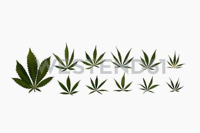 Knolling of marijuana leaves - HEROF22647