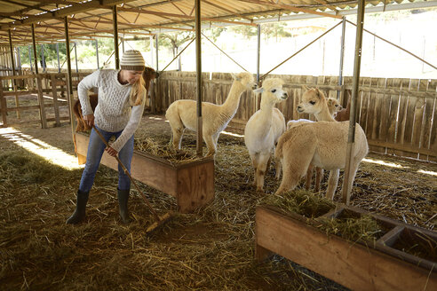 Mature woman working at alpaca stable - ECPF00507