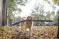 Golden Retriever retrieving big stick in autumn - MAMF00422