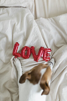 Dog on bed with love foil balloon, from above - JPF00356