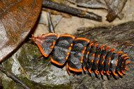Borneo, Kinabalu National Park, Duliticola hoiseni - ZCF00684