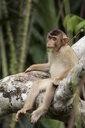 Malaysia, Borneo, Sepilok Orangutan Rehabilitation Centre, young Northern pig-tailed macaque - ZCF00687