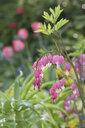 Lyre-flower in garden - CRF02830