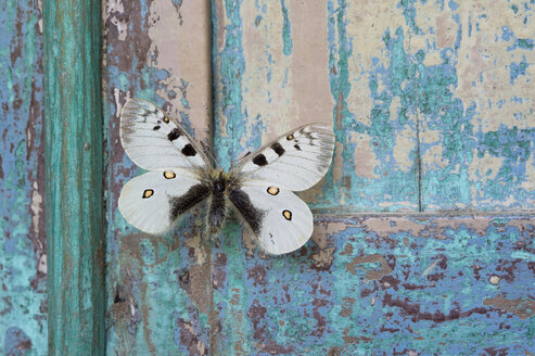 Butterfly on flaking turquoise wood - CRF02833