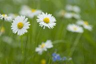 Daisies blooming in meadow - CRF02836