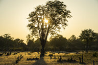Zambia, South Luangwa National Park, Backlight of a tree at sunset - RUNF01361