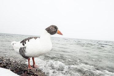 Grey goose, Anser anser, at Lake Starnberg in winter - WFF00003