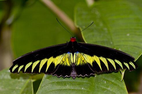Malaysia, Borneo, Sabah, Kinabalu Park, Raja Brooke's birdwing on leaf - ZCF00688