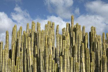 Spain, Tenerife, Malpais de Guimar, cacti - PSTF00310
