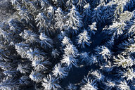Aerial view of spruce trees in winter - LHF00600