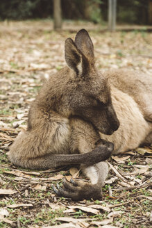 Close-up of kangaroo resting on field in forest - CAVF60708