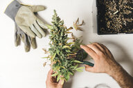 Cropped hands of man cutting cannabis plant by flower pot and gloves on table at home - CAVF60928