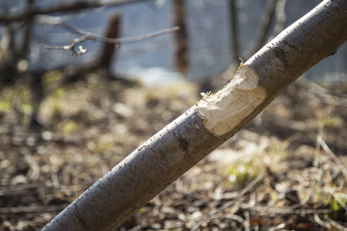 Tree trunk damaged by beaver - MAMF00444