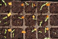 Tomato seedlings in propagation box - CSF29319