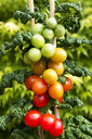 Cherry tomato plant with ripe and unripe fruits - CSF29325