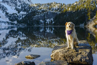 Golden Retriever looking away while standing on rock in lake against mountain during winter - CAVF61777