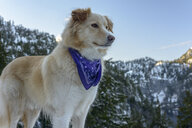 Low angle view of Golden Retriever looking away while standing against mountain in forest - CAVF61780