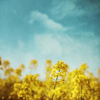 Blossoming rape field - DWIF00990