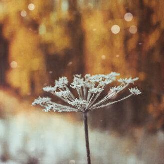 Dried frozen ground elder - DWIF00993