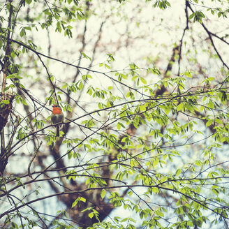 Robin redbreast, Erithacus rubecula, sitting on twig of a tree - DWIF01002
