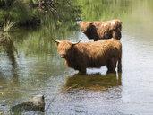 Great Britain, Scotland, Knoydart, highland cattles bathing - HUSF00024