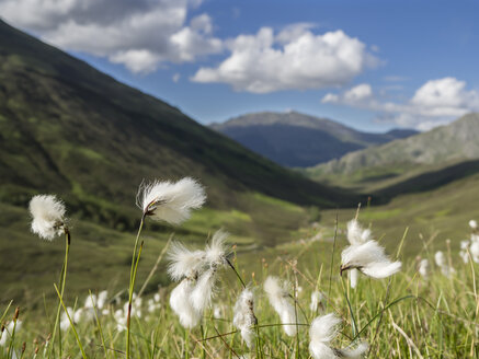 Great Britain, Scotland, Glen Shiel, Sheathed Cottonsedge, Eriophorum vaginatum, seed head - HUSF00027