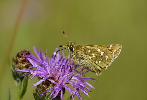 Silver-spotted skipper on purple flower head - SIEF08418