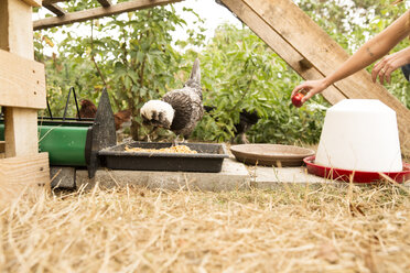 Hand feeding chicken at chickenhouse in garden with an apple - MFRF01263