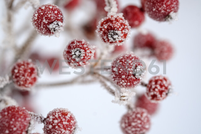 Red berries of common holly, Ilex aquifolium in winter, frost-covered - LBF02405 - Lisa und Wilfried Bahnmüller/Westend61