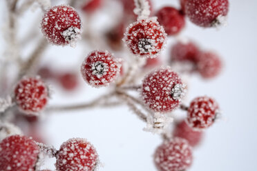 Red berries of common holly, Ilex aquifolium in winter, frost-covered - LBF02405