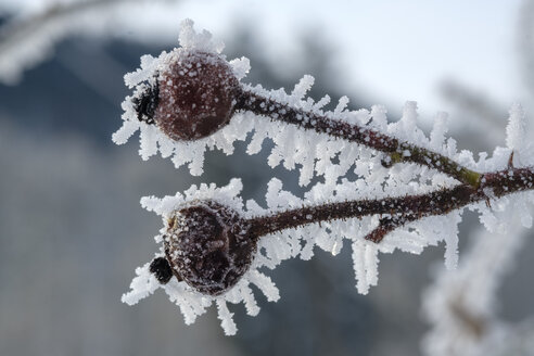 Rosehip, fruits in winter, frost-covered - LBF02408