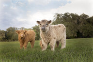 Portrait of calves standing on grassy field against cloudy sky - CAVF62481