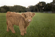 Portrait of calf standing on grassy field against clear sky - CAVF62484
