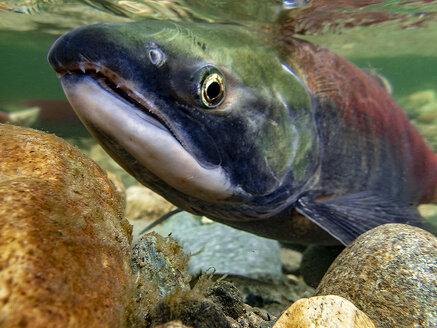 California, British Columbia, Adams River, Sockeye salmon, Oncorhynchus nerka - GNF01433