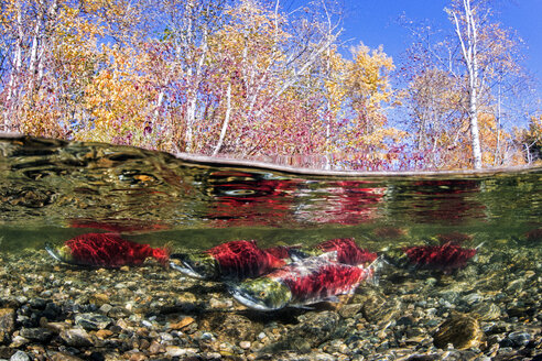 California, British Columbia, Adams River, Sockeye salmons, Oncorhynchus nerka, over-under image - GNF01448