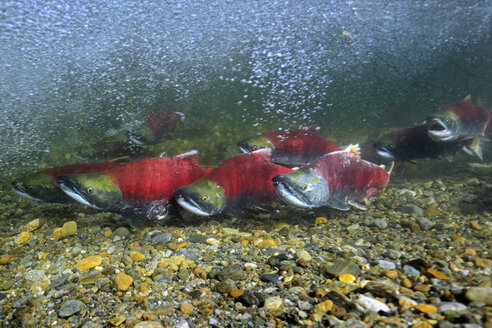California, British Columbia, Adams River, Sockeye salmons, Oncorhynchus nerka - GNF01451