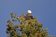 Canada, British Columbia, Bald eagle perching on branch, Haliaeetus leucocephalus - GNF01460