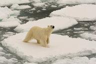 Polar bear (Ursus maritimus), Polar Ice Cap, 81north of Spitsbergen, Norway - ISF20992