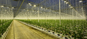 Growing bell peppers in modern dutch greenhouse, Zevenbergen, Noord-Brabant, Netherlands - CUF49587